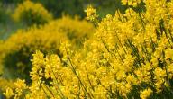 لماذا يسقط نبات الرتم اوراقه