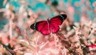 أنواع الفراشات