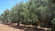 كيفية زراعة شجرة الزيتون