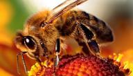 ما اسم صغار النحل