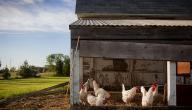 اسم بيت الدجاج
