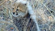 اسم صغير الفهد