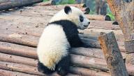 اسم صغير الباندا