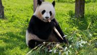 بحث عن دب الباندا