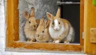 تربية الأرانب للمبتدئين