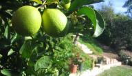 كيف تزرع شجرة الليمون