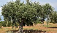 كم تحتاج شجرة الزيتون من الماء