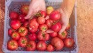 وقت زراعة الطماطم