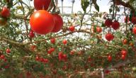كيف تزرع البندورة