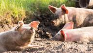 الحكمة من خلق الخنزير