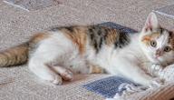كيفية إزالة شعر القطط من السجاد