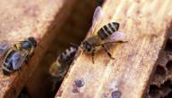 كيفية التخلص من النحل