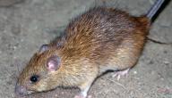 كيفية مكافحة الفئران بالمنزل