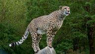 ما هو أسرع الحيوانات البرية