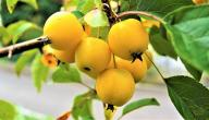 ما فوائد التفاح الأصفر