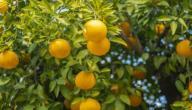 مراحل نمو شجرة الليمون