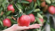 من هو العالم الذي ارتبطت قصة حياته بالتفاحة