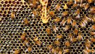 اسم بيت النحل