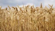 طرق زراعة القمح