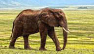 كم عدد ضربات قلب الفيل في الدقيقة