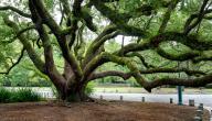 أقدم الأشجار في العالم