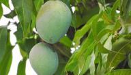 طرق زراعة المانجو