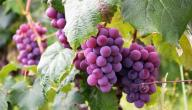 ما فائدة بذور العنب