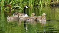 تربية صغار البط