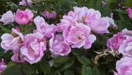 كيف أحافظ على الورد الطبيعي لمده طويله