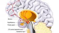 ما هو الدوبامين في الدماغ