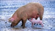 لماذا لحم الخنزير محرم