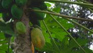 كيفية زراعة فاكهة البابايا