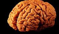 كيف يعمل العقل البشري