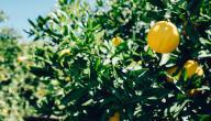 كيفية العناية بشجرة الليمون