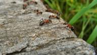 اسم صغير النملة