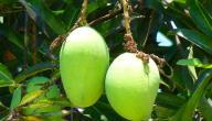 كيفية الاعتناء بشجرة المانجو