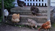 أفضل أكل للدجاج