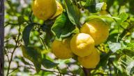 كيف يزرع الليمون