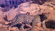 تعريف حيوان النمر العربي