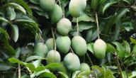 كيف تزرع شجرة المانجو