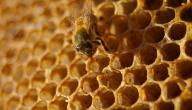 كيف تصنع النحلة العسل