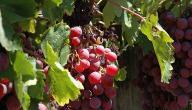 طريقة زراعة العنب