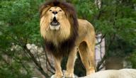 لماذا يسمى الأسد ملك الغابة