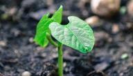كيفية زراعة اللوبيا