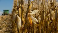 كيف تزرع الذرة الصفراء