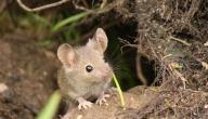 كيف أتخلص من الفئران