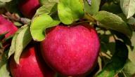 كيفية زراعة التفاح