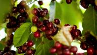 كيفية زراعة القهوة
