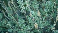كيف تزرع الميرمية