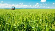 كيفية زراعة القمح